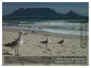 Silver Gulls with a Table Mountain view